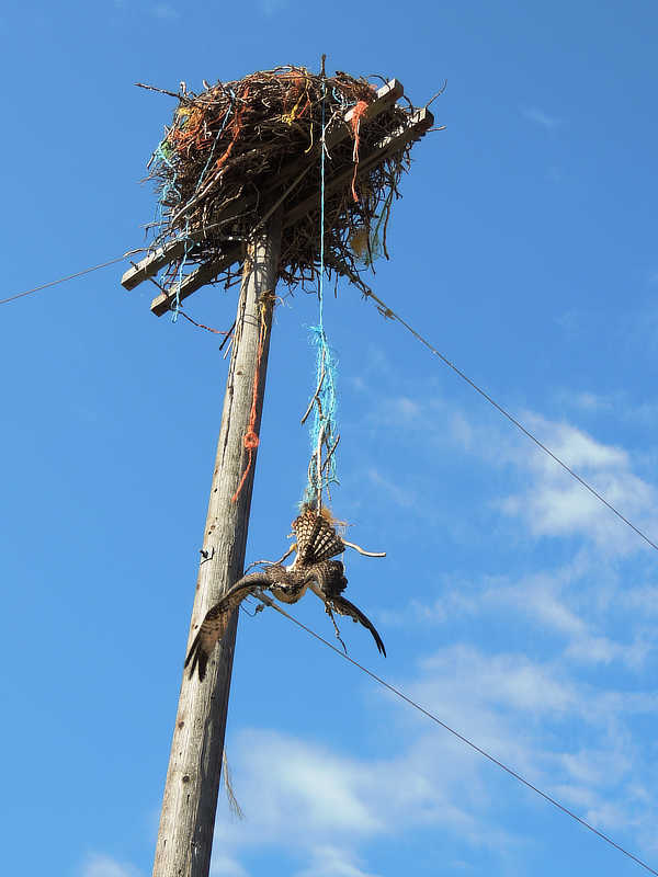 An osprey entagled in baling twine and dangling from its nest.