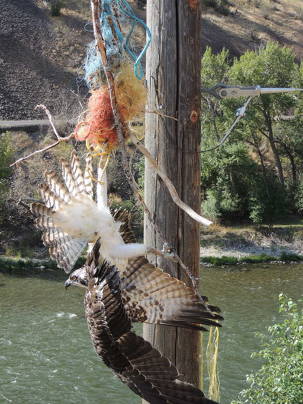 A close-up of the osprey entagled in baling twine.